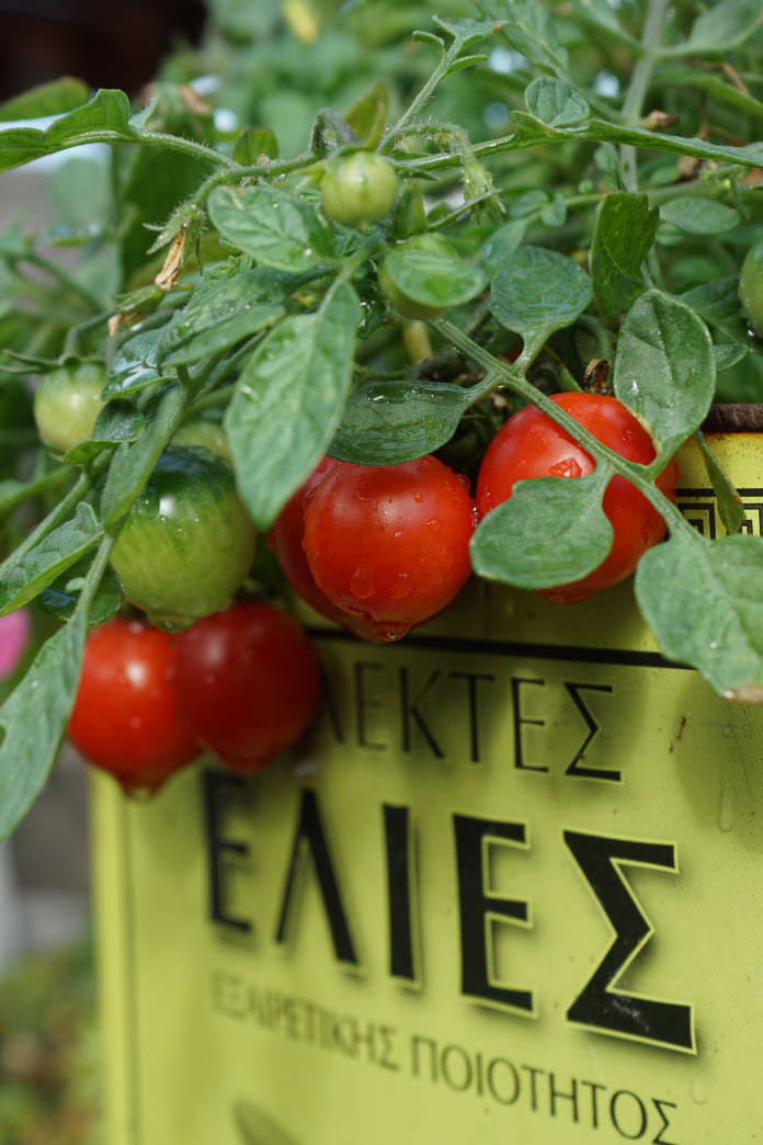 Harris grows 'Tumbling Tom Red' tomatoes in an old olive tin (Tom Harris/PA)