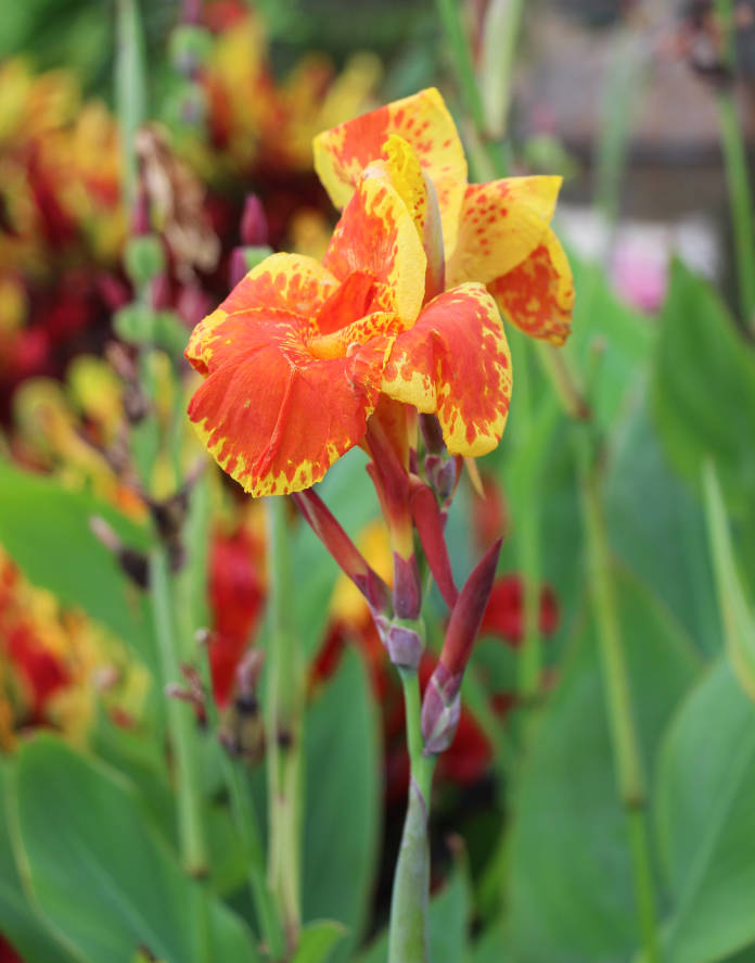 Closeup of an exotic Yellow canna lily