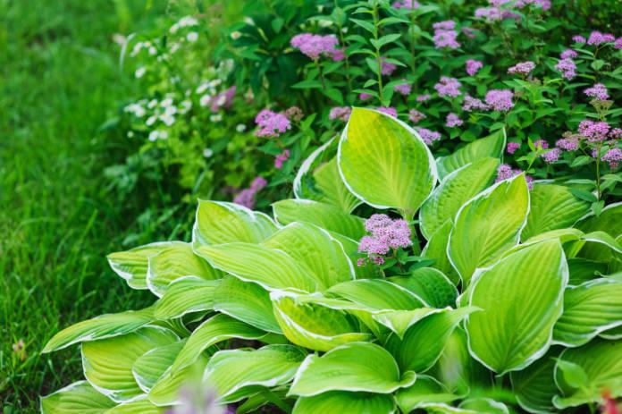 Hosta plant in a garden border