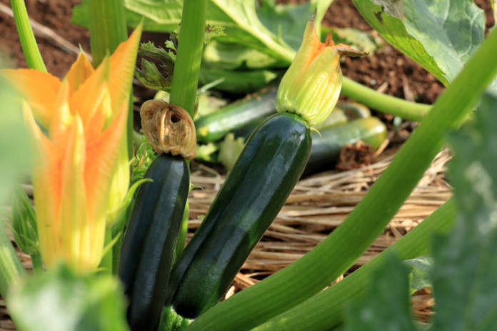 grow your own guide - courgettes