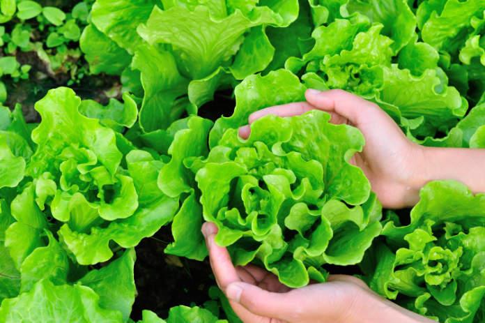 Lettuce (Thinkstock/PA)