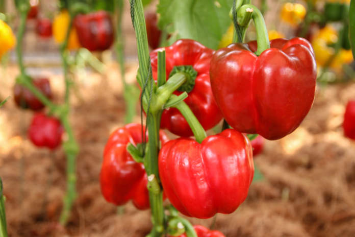 grow your own guide - peppers