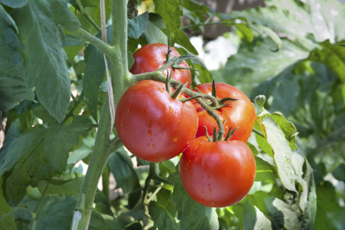 grow your own guide - tomatoes