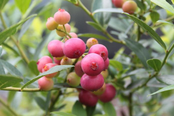 Blueberry 'Pink Lemonade' (Lubera/PA)