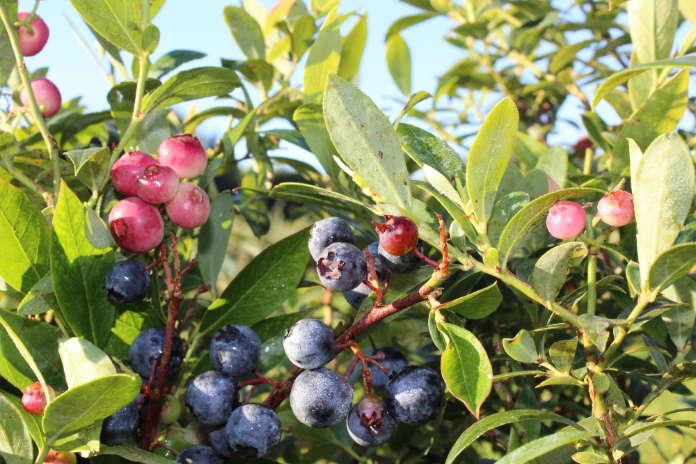 Moreberries 'Pink & Blue' (Lubera/PA)