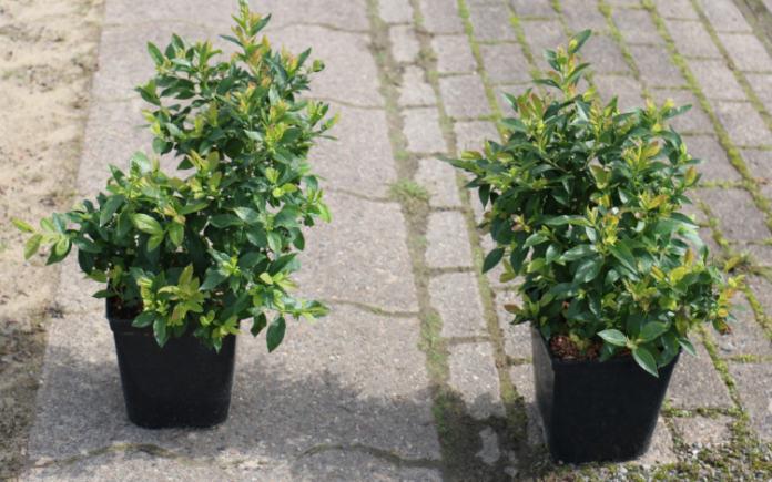 Grow blueberries in pots (Lubera/PA)