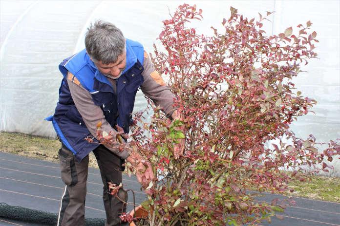 Pruning blueberries (Lubera/PA)