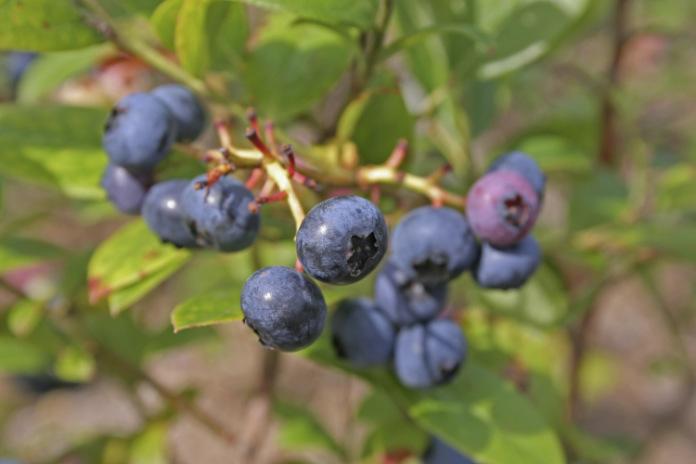 Grow them in acid soil (Thinkstock/PA)