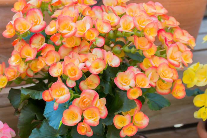 Begonias (Thinkstock/PA)