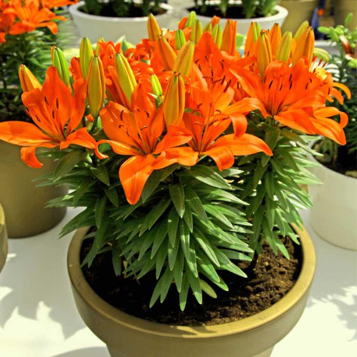 Potted lilies (Thinkstock/PA)