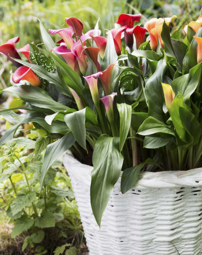 Calla lilies (Rolinda Windhorst/thejoyofplants.co.uk/PA)