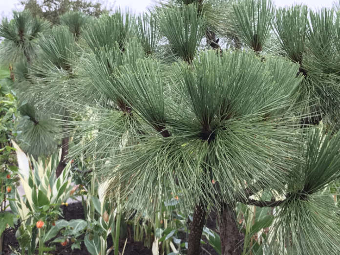 Pinus montezumae (Hannah Stephenson/PA)