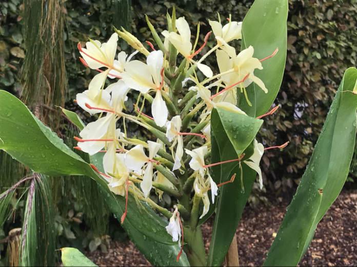 Flowering ginger (Hannah Stephenson/PA)