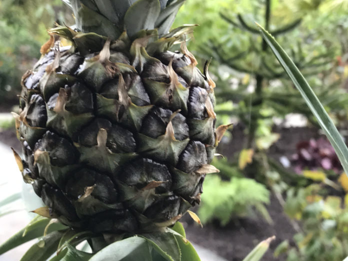 Pineapples will suffer in winter (Hannah Stephenson/PA)