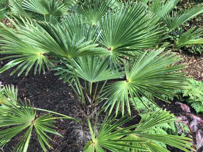 Try Trachycarpus wagneriamus in a smaller garden (Hannah Stephenson/PA)