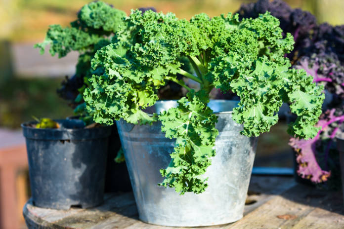 Kale will grow in its own space in a pot