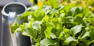 Growing veg in containers Lettuce