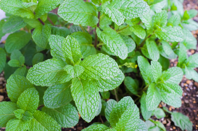 Grow mint in its own pot