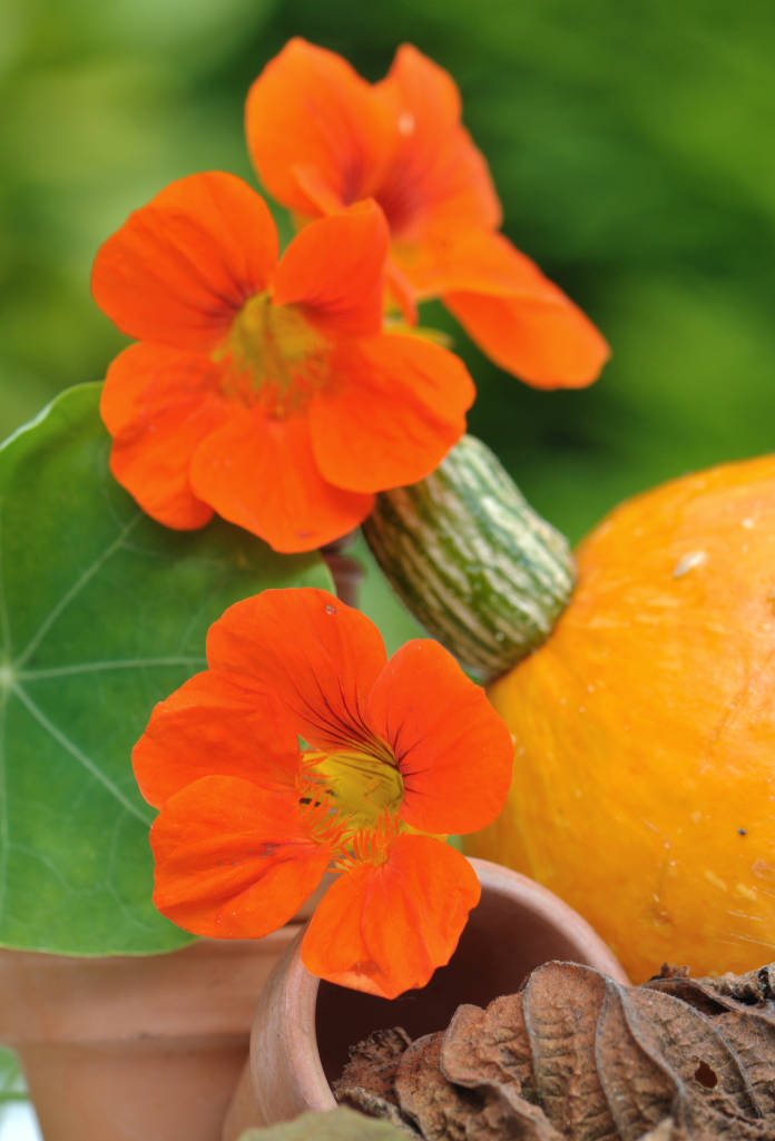 Pretty nasturtiums among pumpkins and leaves