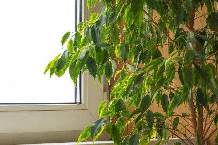 Houseplants health benefits yucca