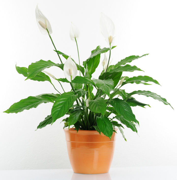 Peace lilies can increase air humidity