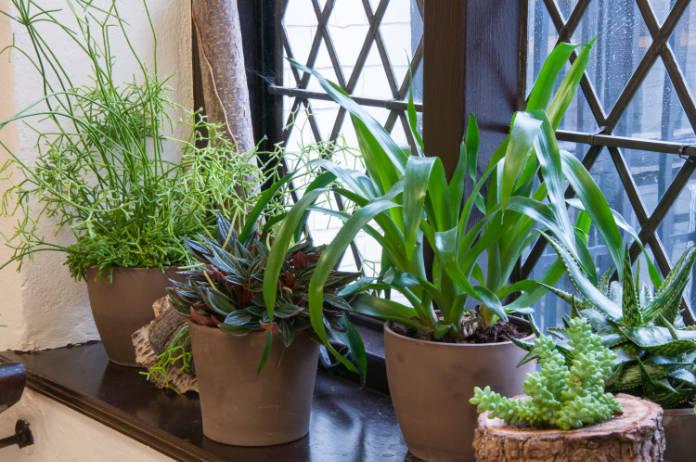 Housplants health benefits windowsill