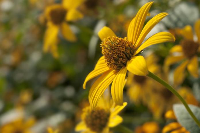Rudbeckia in bloom