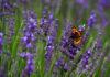 Lavender (Andrew Matthews/PA)