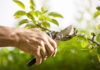 Tree pruning when to call in the experts Pruning of trees with secateurs in the garden