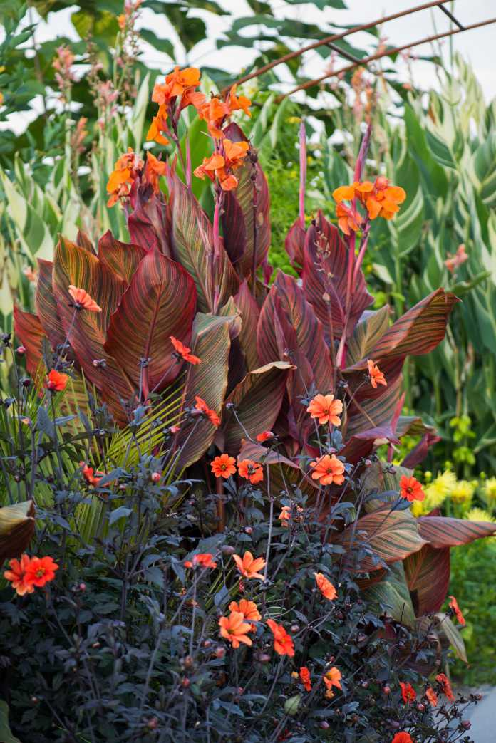 Dahlia 'Bishop of Oxford' and Canna