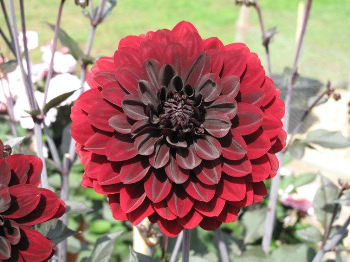 Dahlia 'Karma Choc' provides striking colour (Lorna Trimnell/RHS/PA).