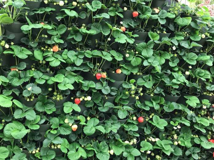 Add strawberries (Hannah Stephenson/PA)