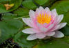 How to grow and care for water lilies