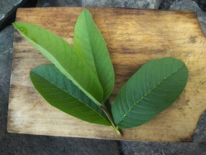 fresh green guava leaves on wooden surface