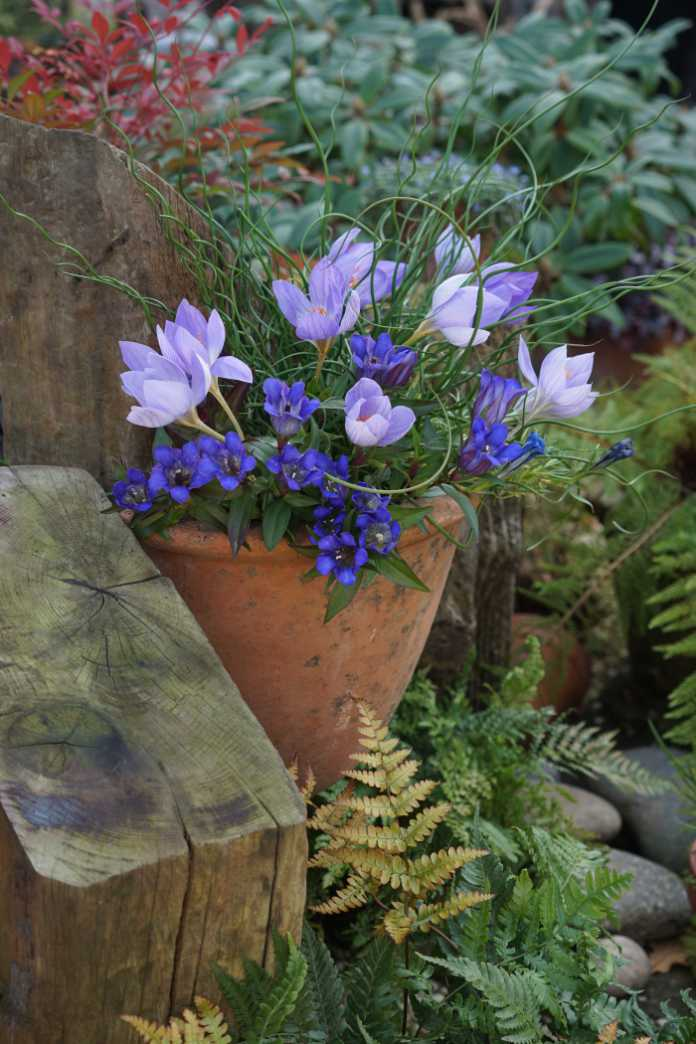 Autumn-flowering crocus are supported by corkscrew rush and fringed with Gentiana scabra