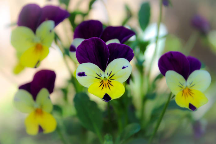 Violas and pansies benefit from shelter in the worst of winter