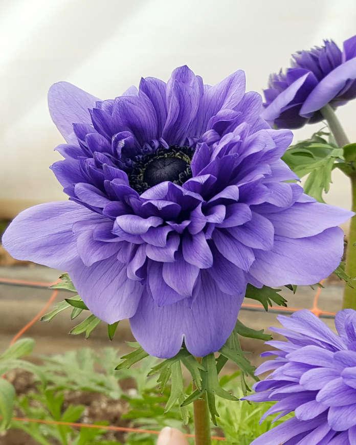 Anemone 'Fullstar Blue'