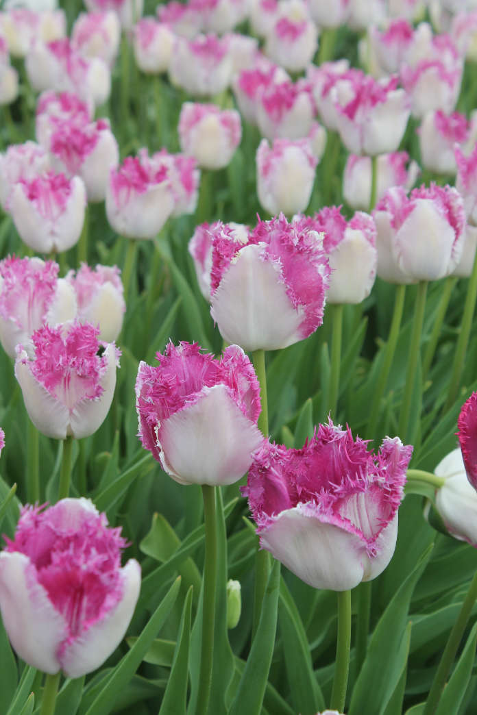 Tulip 'Eyelash'