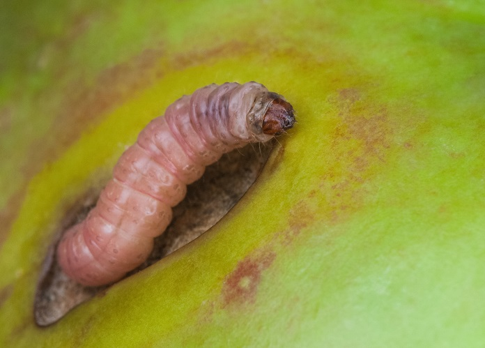Apple tree pests and diseases