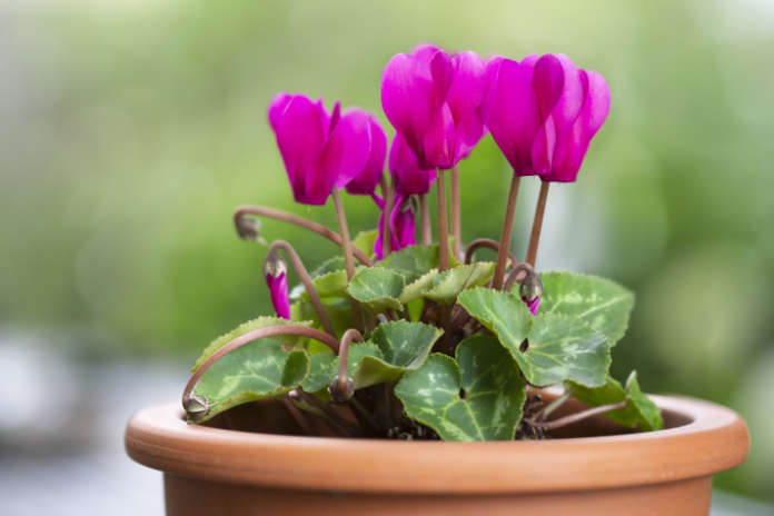 Blooming Cyclamen persicum in a clay pot outdoors