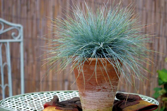 Festuca Elijah Blue in a terracotta pot