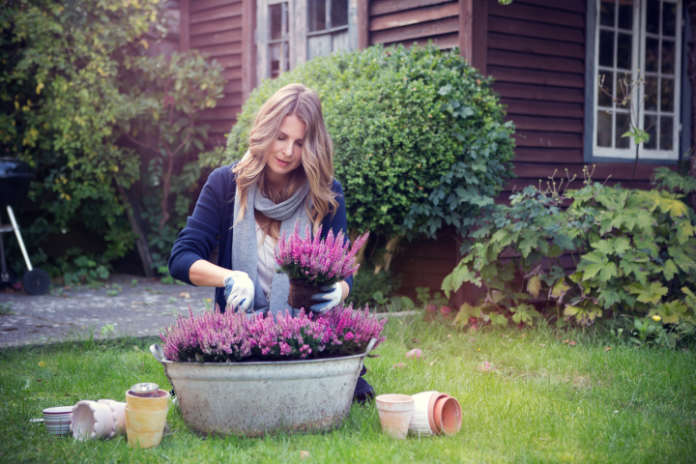 Autumn flowers for containers - Heather