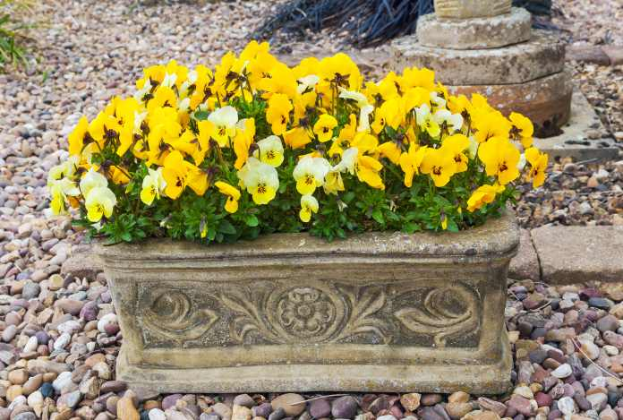 Autumn flowers for containers - Winter pansies
