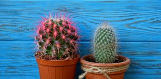 How to look after a cactus