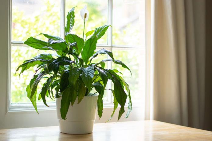 feng shui and houseplants