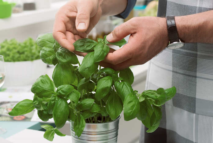 Cook picking fresh basil leaves and preparing a meal on the kitchen worktop