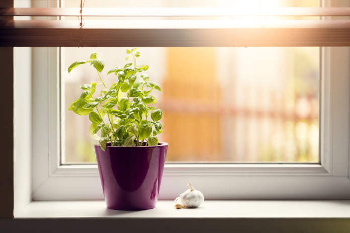 kitchen garden - basil in pot on window sill