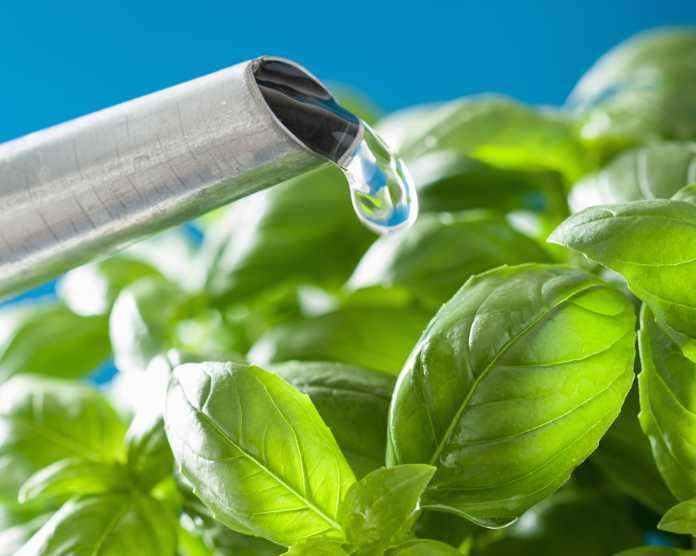 watering fresh basil leaves herb