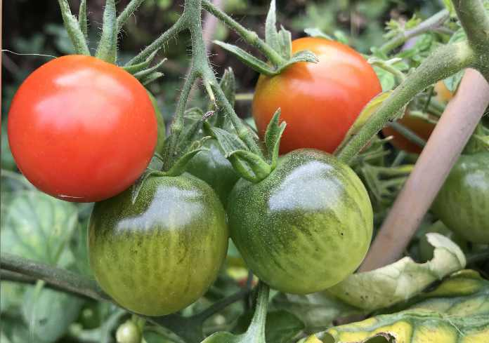 How to ripen tomatoes