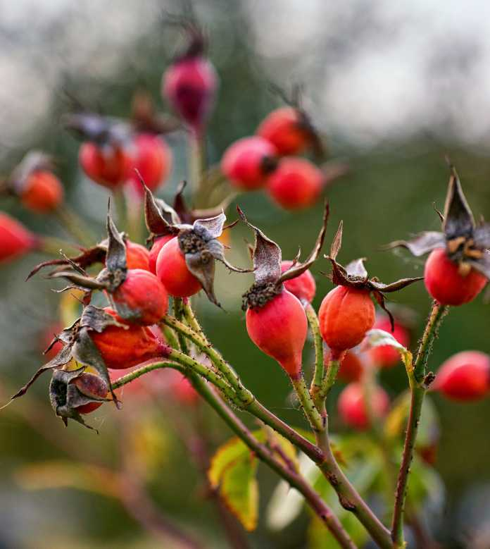 Rosehip in autumn with blurred background. Red fruits in nature.